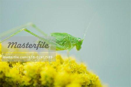 Gesprenkelte Bush Cricket Nymphe thront auf dem Cluster mit gelben ...