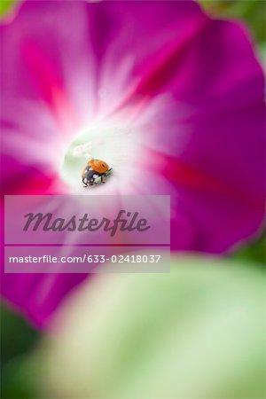 Lady bug crawling on morning glory flower, close-up