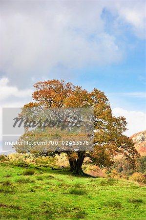 Oak Tree in Autumn, Lake District, Cumbria, England
