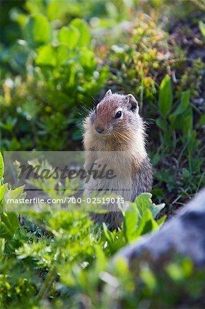 Portrait de spermophile, Sunshine Meadows, Parc National Banff, Alberta, Canada