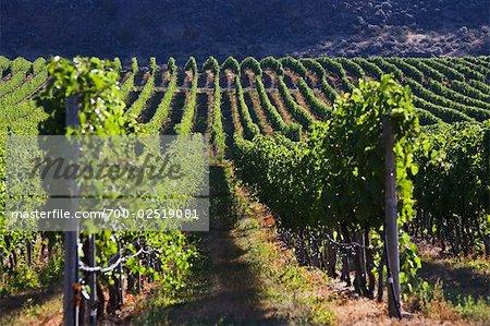 Vignoble, vallée de l'Okanagan, près de Osoyoos, en Colombie-Britannique, Canada
