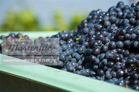 Canon plein de raisins