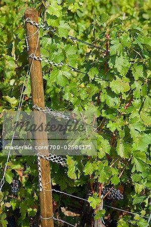 Vinification du raisin sur la vigne, Ahrweiler, Allemagne