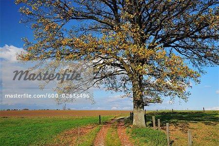 Chêne dans le champ, Fuerstenfeldbruck, Bavière, Allemagne