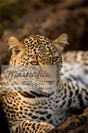 Close-up of Leopard