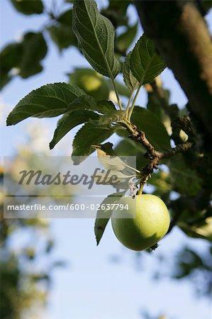 Green Apple Hanging from Tree, Kalmar, Sweden