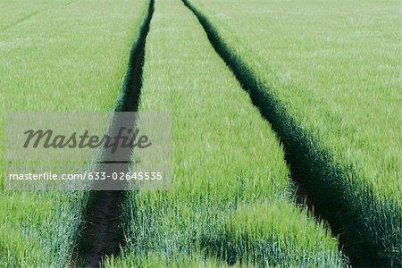 Pistes qui traversent le champ de blé