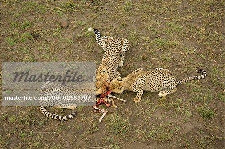 Cheetah Family Eating a Thompson's Gazelle