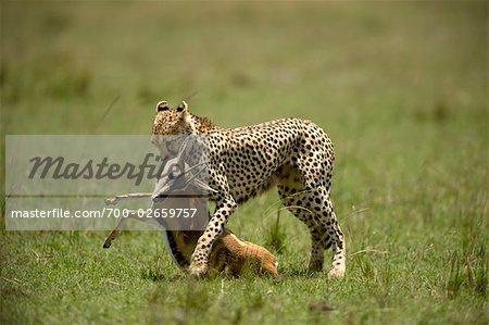 Cheetah with Gazelle Prey