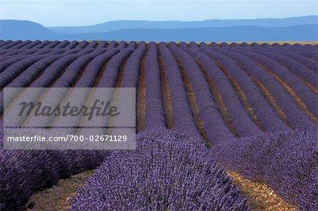 Rangées de lavande en Provence, France