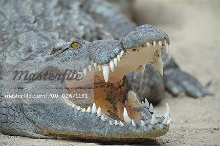 Gros plan de crocodiles du Nil