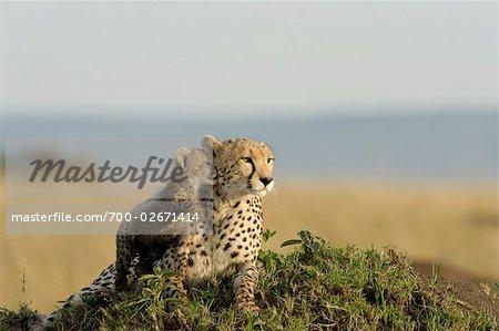 Mère de guépard et Cub