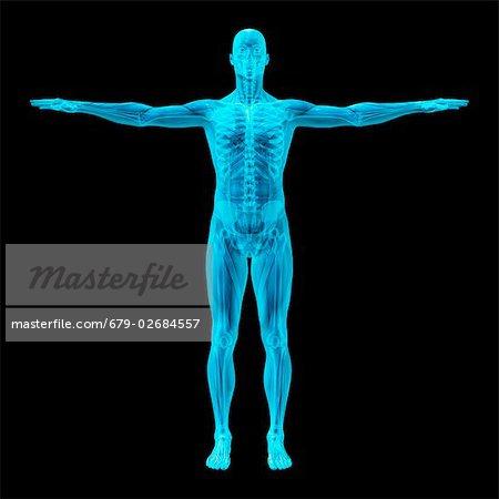Menschliches Skelett und Muskeln. Computer-Artwork von einem Mann ...
