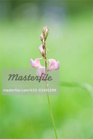 Sainfoin (Onobrychis) flower