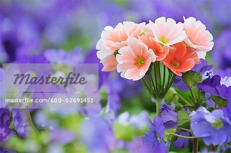 Primevères roses parmi bleu primevères, Bavière, Allemagne