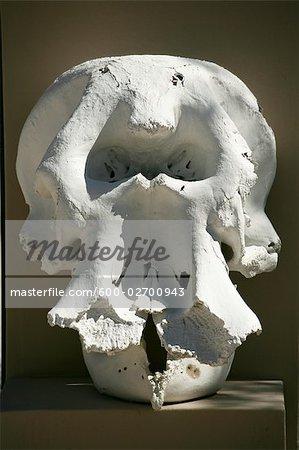 Crâne de rhinocéros