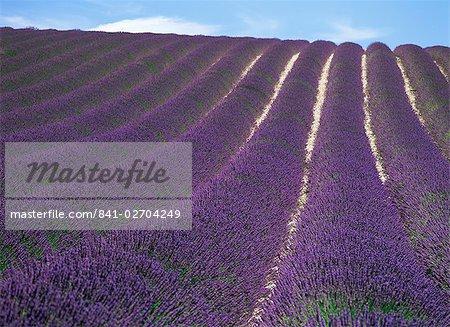 Champ de lavande, plaines de Valensole, Alpes-de-Haute Provence, Provence, France, Europe