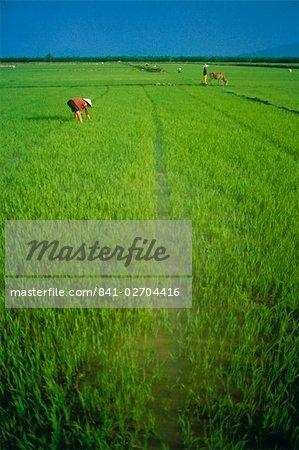 Rice paddy fields, Lang Co, Vietnam