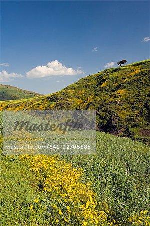 Collines verdoyantes et Meskel jaune fleurs, Parc National du Simien, l'Afrique du Nord, l'Éthiopie,
