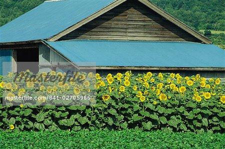 Une ligne de tournesols en face d'une ferme en bois de construction sur l'île d'Hokkaido, Japon, Asie