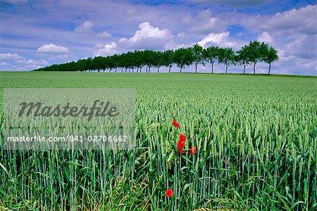 Coquelicots et champ de blé, Somme, Nord-Picardie (Picardie), France, Europe