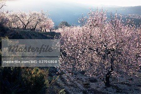 Almond blossom in spring, Costa Blanca, Valencia region, Spain, Europe