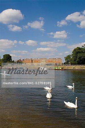 Swans und sculls auf der Themse, Hampton Court, Greater London, England, Vereinigtes Königreich, Europa