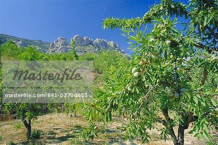Amandiers dans la Sierra de Aitana, Alicante, Valencia, Espagne, Europe