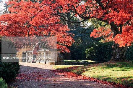 Acer Palmatum Atropurpureum Baum, Sheffield Park Gardens, East Sussex, England, Vereinigtes Königreich, Europa