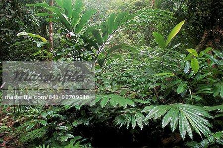 Larges feuilles de plantes et de fougères poussent à base de diptérocarpacées forêt tropicale, zone de Conservation de la vallée de Danum, vallée de Danum, Sabah, Malaisie, Bornéo, l'Asie du sud-est, Asie