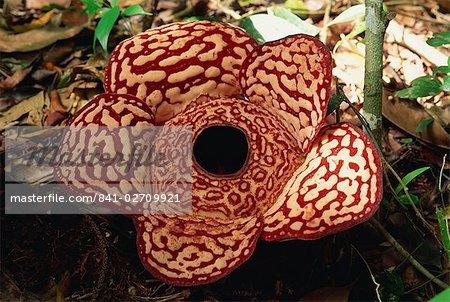 La Rafflesia, la plus grande fleur du monde, sans feuilles et parasite Tetrastigma vigne, Sabah, Borneo, Malaisie, Asie du sud-est, Asie