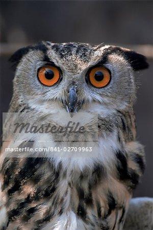 Européenne eagle owl (Bubo Bubo), sanctuaire de hibou de New Forest, Angleterre, Royaume-Uni, Europe