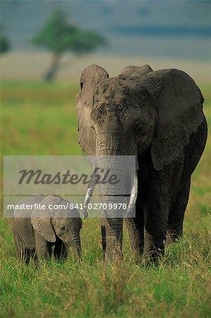 Femelle et veau, éléphant d'Afrique, Masai Mara National Reserve, Kenya, Afrique de l'est, Afrique