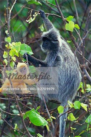 Female Silvered Langur and infant, Bako National Park, Sarawak, Borneo, Malaysia, Southeast Asia, Asia
