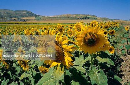Sunflowers, Andalucia (Andalusia), Spain, Europe