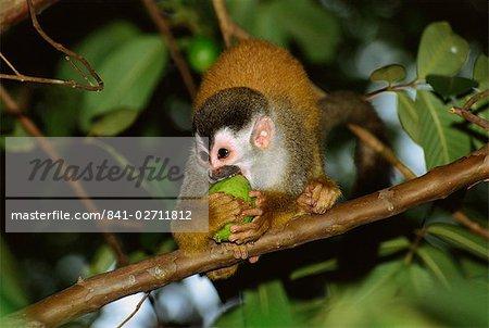 Juvenile squirrel monkey (Saimiri oerstedii) biting a fruit whilst standing on a branch, Manuel Antonio, Quepos, Puntarenas, Costa Rica, Central America
