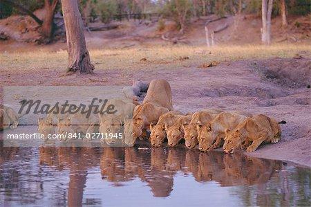 Lion (Panthera leo) à trou d'eau, Delta de l'Okavango, au Botswana, Afrique