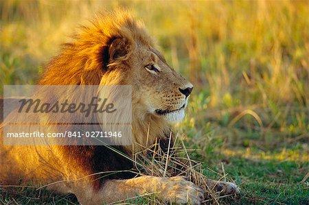 Portrait of a Lion (Panthera leo), Okavango Delta, Botswana
