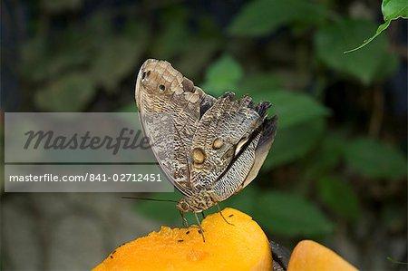 Chouette Moth, Monteverde, Costa Rica, l'Amérique centrale