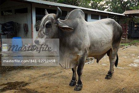 Brahman cattle, Hacienda Guachipelin, near Rincon de la Vieja National Park, Guanacaste, Costa Rica, Central America
