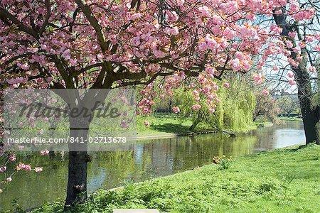 Fleur d'oranger, Regents Park, Londres, Royaume-Uni, Europe