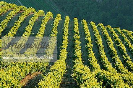 Vineyards, Vignobles de Gigandes, Vaucluse, Provence, France, Europe
