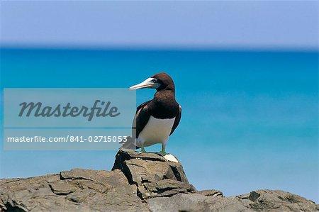 Brown booby (Sula leucogaster), Parque Nacional de Fernando de Norohna, Fernando de Noronha, Pernambuco, Brazil, South America