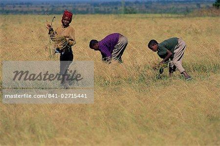 Boys in field harvesting 'tef', Woolisso region, Shoa province, Ethiopia, Africa