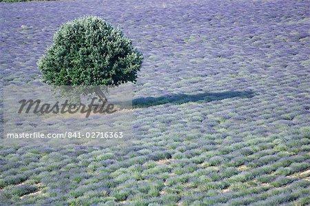 Arbre dans un champ de lavande, Luberon, France
