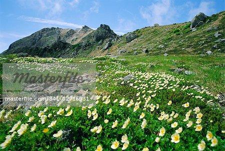 Fleurs de montagne, le Parc National Hakusan, Japon