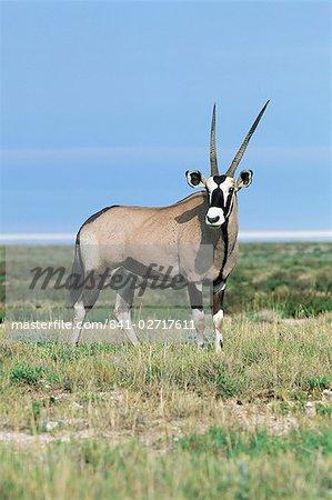 Gemsbok (oryx), gazelle de l'Oryx, Parc National d'Etosha, Namibie, Afrique
