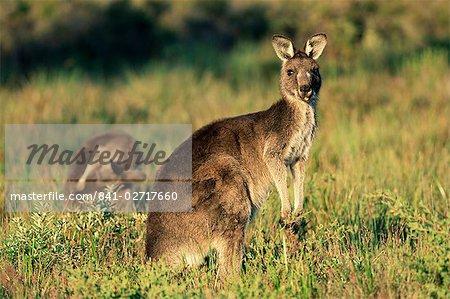 Eastern kangourous gris, Macropus giganteus, Wilson Promontory National Park, Victoria, Australie, Pacifique