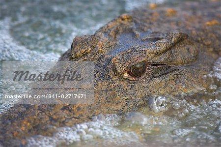 Gros plan du crocodile du Nil (Crocodylus niloticus), le Parc National Kruger, Afrique du Sud, Afrique