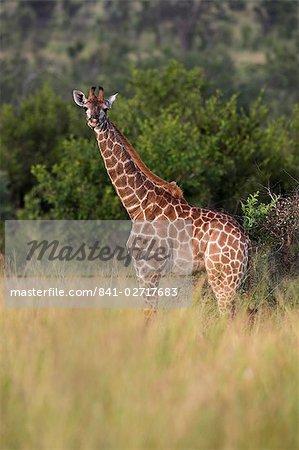 Girafe (Giraffa camelopardalis), jeune, Kruger National Park, Mpumalanga, Afrique du Sud, Afrique